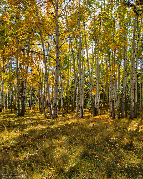 Sunlight streaming through aspens in fall on the Colorado Plateau in northern Arizona