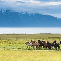 Icelandic ponies near Husavik in Northeast, Iceland.
