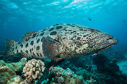 Giant Potato Cod being attended to by small cleaner wrasse. (Photo by Underwater Photographer)