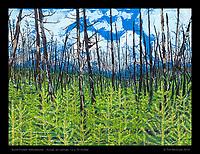 &quot;Burnt Forest Yellowstone&quot;, Acrylic on Canvass, 12 x 16 inches.<br />