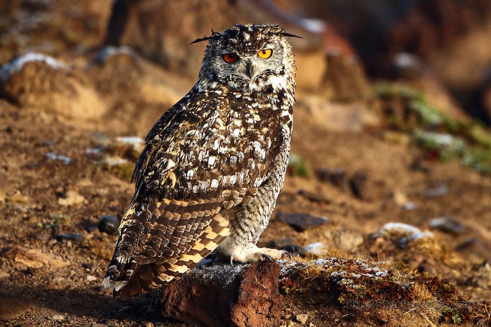 Cape Eagle-Owl, Bubo capensis, Ethiopia, by Markus Lilje