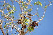 Lesser noddy (Anous tenuirostris) Nesting, Photographed on Bird Island, Seychelles in September