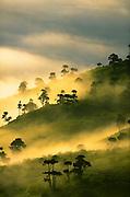 Mist and dawn light on euphorbia trees, Ngorongoro Conservation Area, Tanzania.