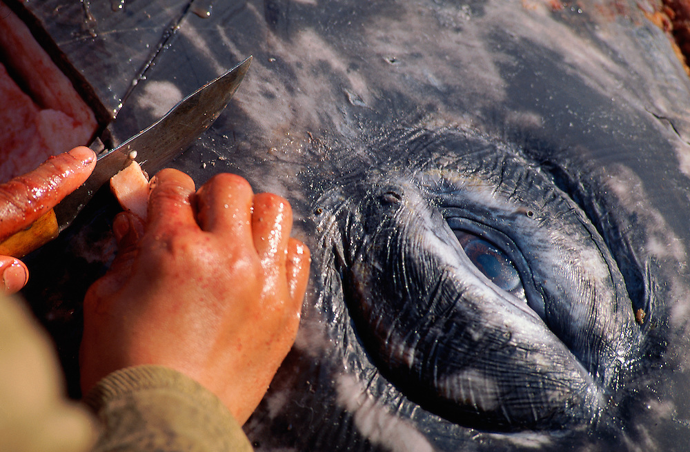 Chukchi whale hunter carving up the whale, Chukotka, Siberia, Russia, Arctic