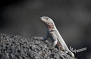 Lava lizard on a rock on Fernandina island, Galapagos islands, Ecuador.