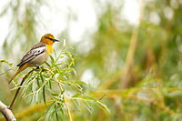 A female Bullocks Oriole sits just outside of the nest its building in a large willow tree.