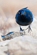Common Grackle, Quiscalus quiscula, male, Shiawassee River, Saginaw County, Michigan
