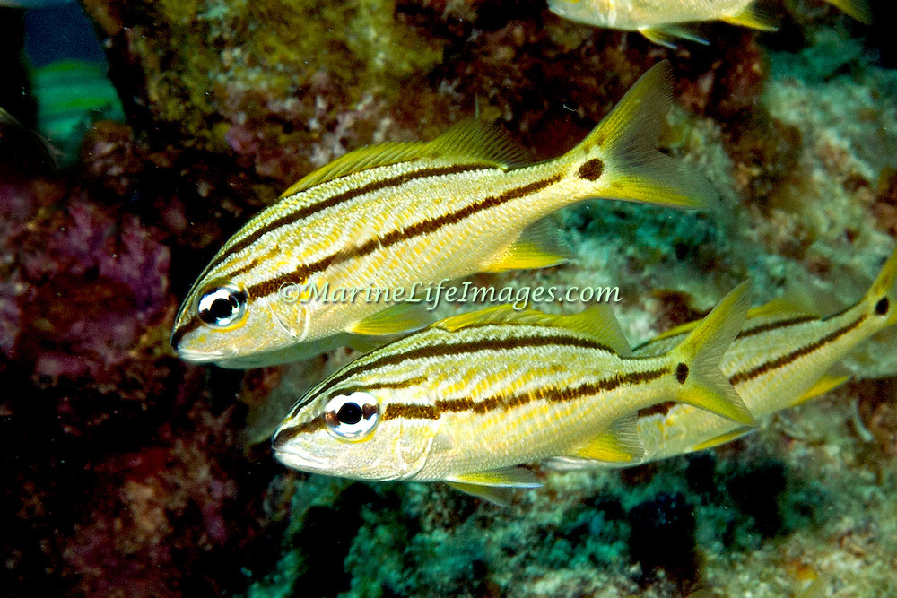 French Grunt young inhabit reefs in Tropical West Atlantic; picture taken Little Cayman.