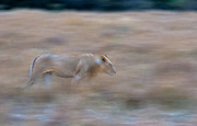 A young male lion walks through the long grass on the savannah of Maasai Mara, Kenya.