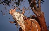 DEU, Deutschland: Hausrind (Bos taurus), Kuh versucht mit Zunge Blätter von einem Baum zu zupfen, Kuh hinter Zweigen, Rasse: Hinterwälder, Rasse die es nur im Schwarzwald gibt, geländegängig und mit kurzen kräftigen Beinen, Bernau, Schwarzwald, Baden-Württemberg, Süddeutschland | DEU, Germany: Domestic cattle (Bos taurus), cow behind twigs trying to pick leaves with her tongue, race: Hinterwaelder-cattle, just existing in Black Forest, all-terrain and with short strong legs, Bernau, Black Forest, Baden-Württemberg, Southern Germany |