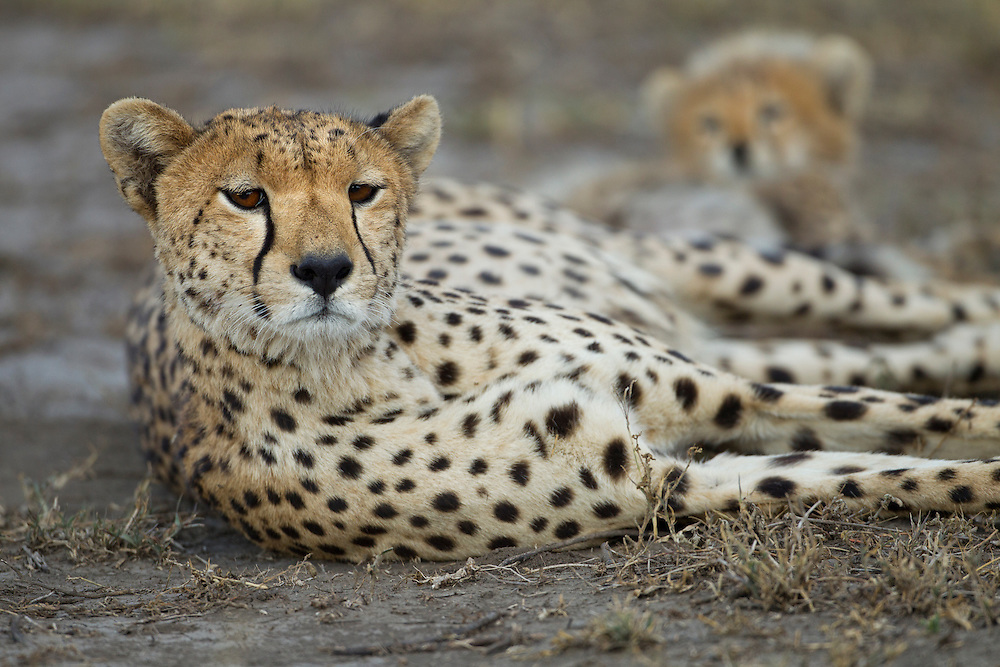 Tanzania, Ngorongoro Conservation Area, Ndutu Plains, Adult Female Cheetah (Acinonyx jubatas) resting near cubs in shade on savanna