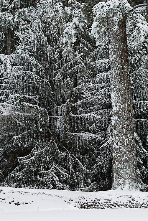 Spruce and fir in snow, Mount Tabor Park.  Sitka Spruce (Picea sitchensis) and Douglas fir (Pseudotsuga menziesii).  In 1903, John Charles Olmsted of the Massachusetts-based landscape design firm Olmsted Brothers recommended that a city park be developed at Mount Tabor.  Portland Parks Superintendent Emanuel T. Mische, who had worked at Olmsted Brothers, consulted with Olmsted on the park layout and integration of the reservoirs into the park design.  Photo 12/22/2008.