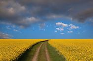 Oil-seed rape field at Langham Norfolk