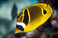 Chaetodon lunula (Raccoon Butterflyfish)