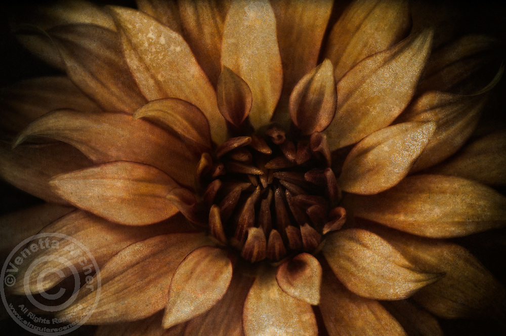 Vintage style close-up of a dahlia.