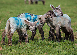 © Licensed to London News Pictures. 06/04/2018. Dorking, UK. One day old newborn lambs enjoy the grass for the first time in the spring sunshine on the Downs at Ranmore, near Dorking in Surrey. Warm spring temperatures are being experienced in parts of the UK today. Photo credit: Peter Macdiarmid/LNP
