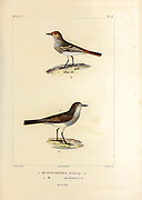 hand coloured sketch Top: cinereous tyrant (Knipolegus striaticeps [Here as Muscisaxicola striaticeps]) Bottom: spot-billed ground tyrant (Muscisaxicola maculirostris) From the book 'Voyage dans l'Amérique Méridionale' [Journey to South America: (Brazil, the eastern republic of Uruguay, the Argentine Republic, Patagonia, the republic of Chile, the republic of Bolivia, the republic of Peru), executed during the years 1826 - 1833] 4th volume Part 3 By: Orbigny, Alcide Dessalines d', d'Orbigny, 1802-1857; Montagne, Jean François Camille, 1784-1866; Martius, Karl Friedrich Philipp von, 1794-1868 Published Paris :Chez Pitois-Levrault et c.e ... ;1835-1847