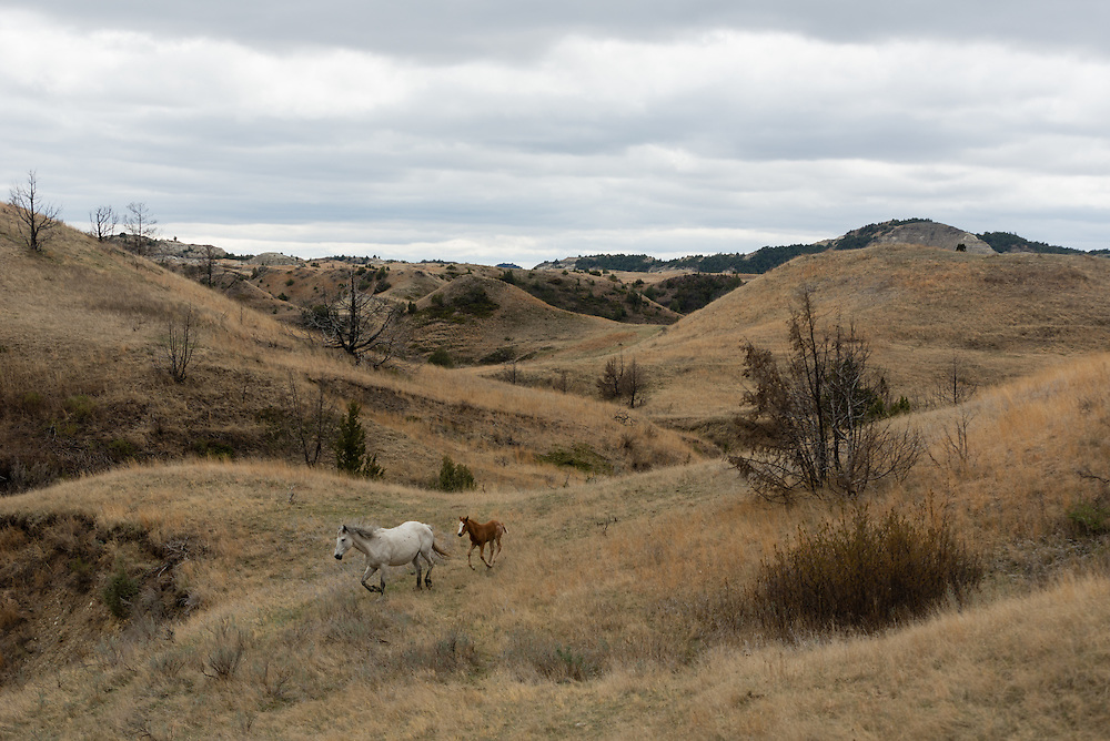 Theodore Roosevelt National Park lies in western North Dakota, where the Great Plains meet the rugged Badlands. It's great habitat for bison, elk and prairie dogs. The Little Missouri River flows through the park. Here, a mare and her colt roam through the park.