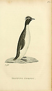 Hopping Gorfou from the 1825 volume (Aves) of 'General Zoology or Systematic Natural History' by British naturalist George Shaw (1751-1813). Shaw wrote the text (in English and Latin). He was a medical doctor, a Fellow of the Royal Society, co-founder of the Linnean Society and a zoologist at the British Museum. Engraved by Mrs. Griffith