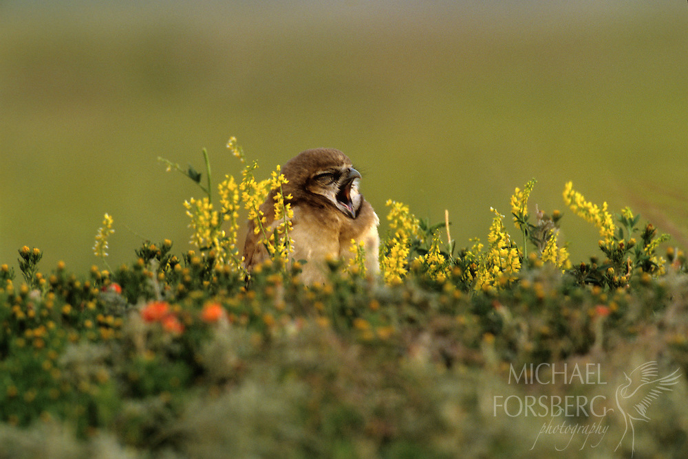 Conata Basin, Buffalo Gap National Grassland, South Dakota..Burrowing Owl chicks yawns in wildflowers on prairie dog town