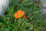 wild Orange Poppy Photographed in Switzerland in September