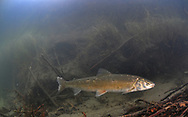 Round Whitefish<br /> <br /> Paul Vecsei/Engbretson Underwater Photography