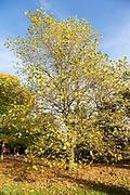 American sycamore or buttonwood tree, platanus occidentalis, National arboretum, Westonbirt arboretum, Gloucestershire, England, UK