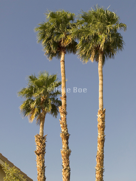 three palm trees together against a blue sky.
