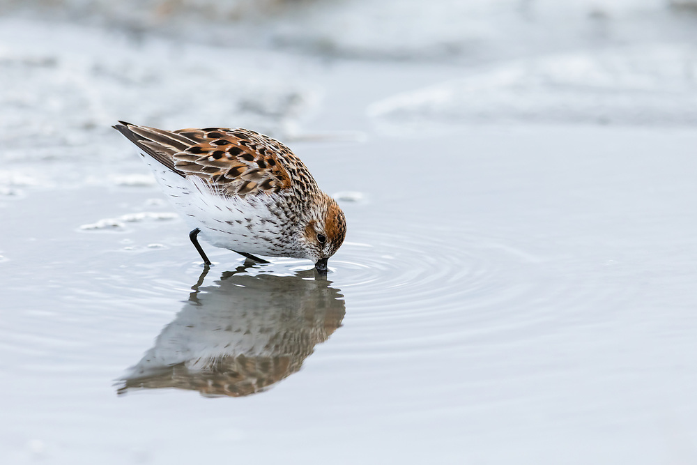 Western Sandpiper (Caldris mauri) foraging at Hartney Bay in Cordova in Southcentral Alaska. Spring. Morning.