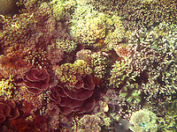 A beautiful coral garden with various coral types in the seas off Bali, Indonesia.