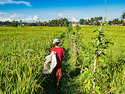 20 JULY 2016 - TAMPAKSIRING, GIANYAR, BALI: A woman walks into a rice field to start working on the harvest in Tampaksiring, Bali. Rice is an important part of the Balinese culture. The rituals of the cycle of planting, maintaining, irrigating, and harvesting rice enrich the cultural life of Bali beyond a single staple can ever hope to do. Despite the importance of rice, Bali does not produce enough rice for its own needs and imports rice from nearby countries. Because of its dependable growing weather and number of micro-climates, rice cultivation is a year round activity in Bali. Some farmers can be harvesting rice, while farmers just a few kilometers away can be planting rice. Most rice in Bali is still harvested by hand.      PHOTO BY JACK KURTZ