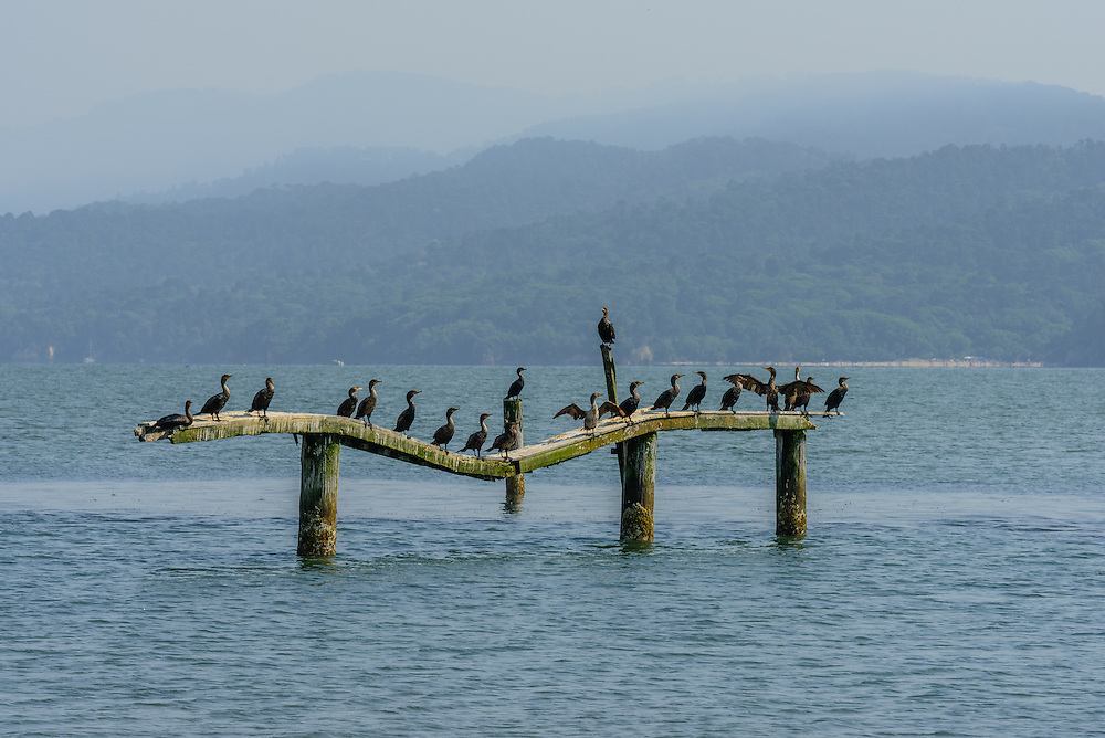Birds sitting on old pier, Cypress Grove Preserve, Audubon Canyon Ranch, Tomales Bay, CA
