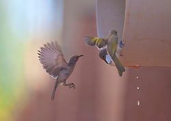 Three beautiful little honeyeaters drink from an outlet pipe in Dampier Terrace, Broome.