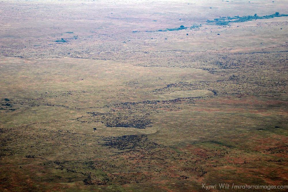 Africa, Kenya, Masai Mara. Wildebeest migration in the Mara.