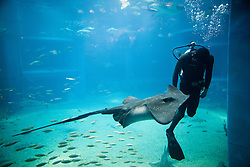 Diver Swimming by Stingray