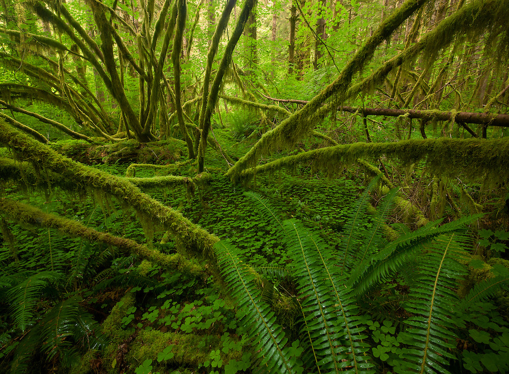 Moss-draped vine maples present a cacophony of green in the rain forest, Olympic National Park, USA.