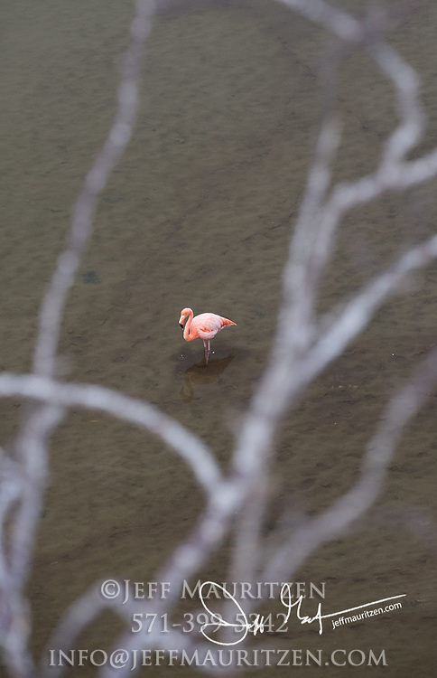 An aerial view of a flamingo in  a lagoon on Floreana island in the Galapagos archipelago of Ecuador.