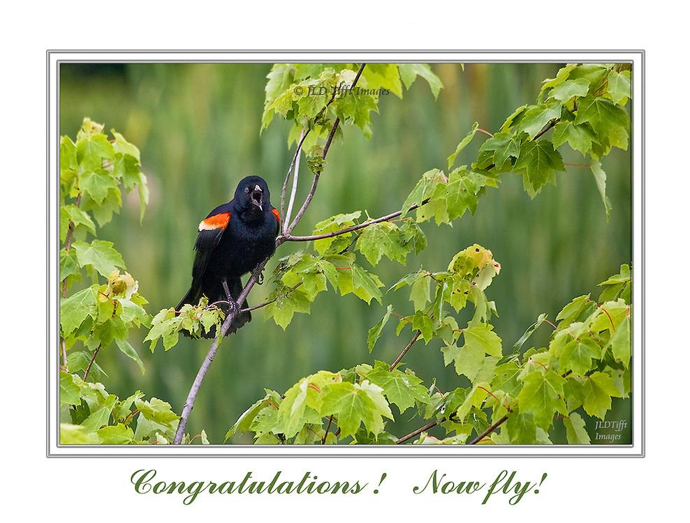 Red winged blackbird singing in a bush.  His beak is wide open.