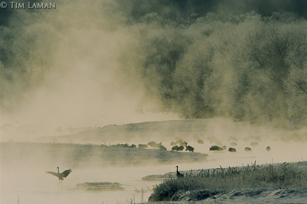 Red-crowned Cranes (Grus japonicus) awaking at dawn on the mist covered Setsuri River, Hokkaido, Japan...IUCN Red List:  Endangered Species