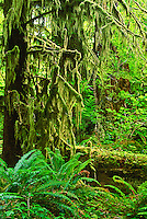 Ferns and moss-covered spruce trees are founs along the Kalaloch nature Trail.  Olympic National Park, Washington.