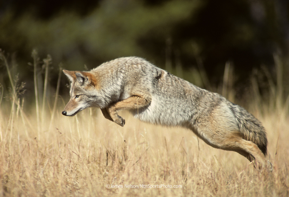 16-37. A coyote pounces on a mouse in western Wyoming.