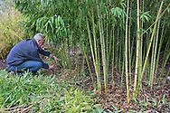 Gardener using secateurs to prune Phyllostachys aurea (fish-pole bamboo). Removing deadwood and low branches to reveal canes in the Bamboo Garden at RBG Kew
