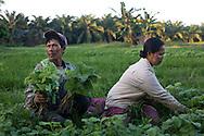 Kota Pari Village near Medan - North Sumatra, Indonesia  Nov. 2008. (Heifer Participant) Kasmawati (left) and his wife Suparji (right) gather water spinach to sell at the market.