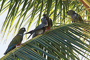 Parrots naturalized and feral