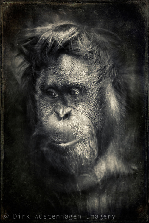 Portrait of a captured orang-utan - shot through a thick pane of savety glass hence the blur - texturized monochrome photograph