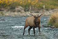 During cool autumn mornings, bull elk are active pursuing cows and fighting off rivals during the annual rut. This bull, who presided over a harem near Mammoth Hot Springs, was extremely aggressive, not only fighting off rivals, but attacking automobiles, with over 50 damaged at last count.