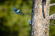 Mountain Bluebird pair (Sialia currucoides) in Grand Teton National Park, Jackson Hole, Wyoming