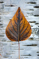 Cottonwood leaf on Paper Birch trunk, Glacier National Park Montana USA