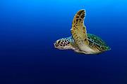Green sea turtle (Chelonia mydas) Atlantic, Bonaire, Leeward Antilles, Caribbean region, Netherlands Antilles | Grüne Schildkröte (Chelonia mydas) im freiwasser auf ihrem weg zum nächsten Atemzug. Alle 45 Minuten müssen Meeresschildkröten wieder an die Oberfläche, um dort vor dem erneuten abtauchen mehrere Atemzüge zu nehmen.