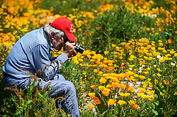 © Licensed to London News Pictures. 30/05/2020. WATFORD, UK. A man photographs California poppies (Eschscholzia californica) currently flowering on a sunny day in a field in Watford.  The UK has experienced the sunniest spring since records began in 1929 including the driest May in some areas.  Photo credit: Stephen Chung/LNP